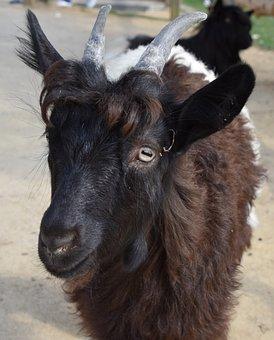 Goat, Animal, Horns, Mammals, Nature, Livestock, Farm