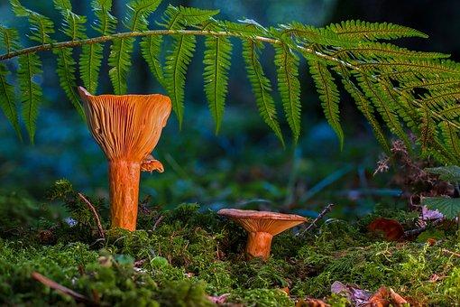 Mushroom, Saffron Milk Caps, Milchling