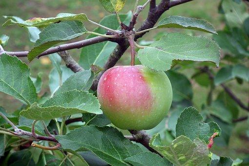 Apple, Fruit, Bio, Mature, Nature, Tree, Closeup