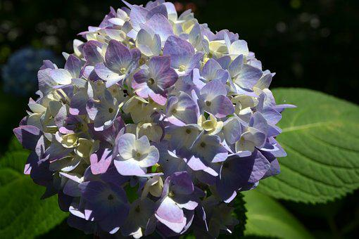 Hydrangeas, Nature, Flowers, Flowering, Beautiful