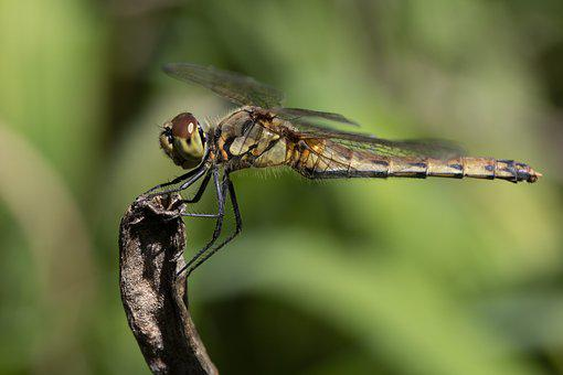 Dragonfly, Red Dragonfly, Insects, Nature, Wing, Close