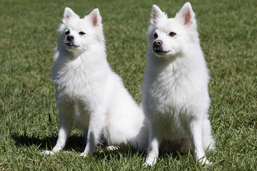 Spitz, Pets, Dog, Canine Companion, Pet Dogs, Park