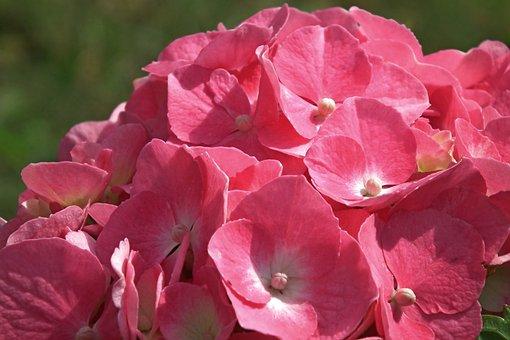 Flower, Hydrangea, Pink, Summer, Garden, Decorative