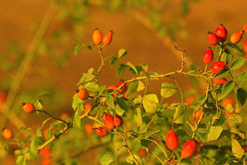 Rosehip, Plant, Nature, Flower, Autumn, Fruit, Forest