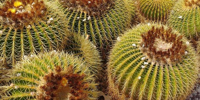 Cactus, Plant, Nature, Summer, Natural, Flora
