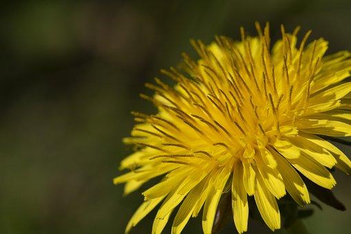 Dandelion, Affix, Wildflower, Flowers, Nature, Plants