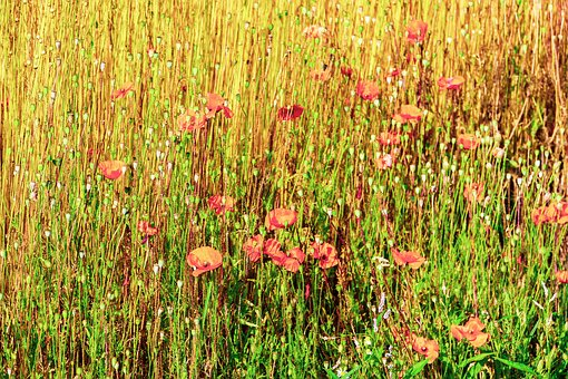 Poppies, Flowers, Fields, Nature, Summer, Plants