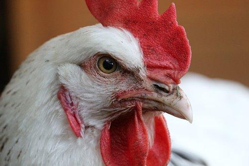 Chicken, Hahn, Chickens, Closeup, Total, Bird, Poultry