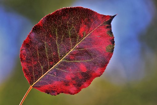 Colors Of Autumn, Leaf, Red, In The Fall, Season