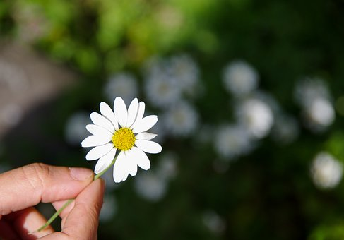 Daisy, Flower, Green, Nature, Rize, Flowering, Highland