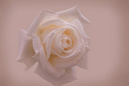 Rose, White, Close Up, Background, Bella, Cute, Detail