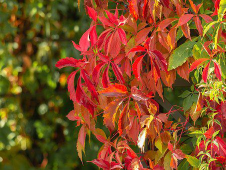 Leaves, Fall Color, Color, Shining, Colorful