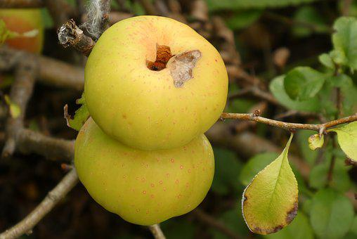 Fruits, Ornamental Apple, Autumn, Shrubs