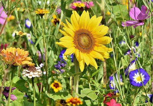 Sunflower, Flowers, Flower Bed, Flower Meadow, Petals