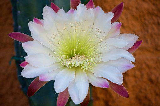 Cactus, Cactus Flower, Fat Plants, Flower, Thorny