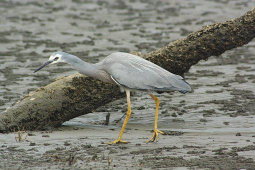 White Faced Heron, Bird, Aves, Fauna, Feathers