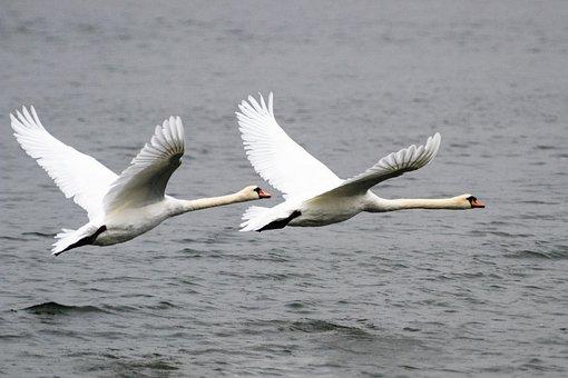 Swan, Bird, Animal, Water, Nature, Water Bird, White