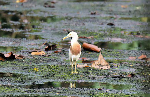 Bird, Wild, Wildlife, Water, Wetland, Pond, Javan