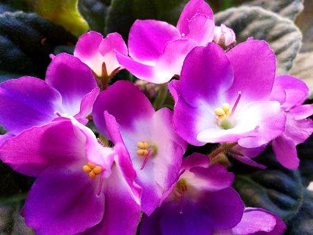 Blossom, Bloom, Houseplant, African Violets, Plant