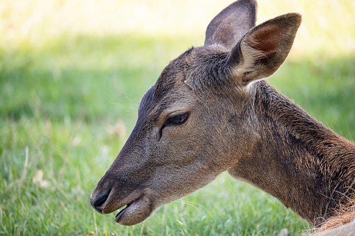 Roe Deer, Fallow Deer, Mammal, Animal, Animal World