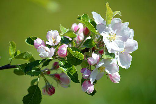 Apple Blossom, Spring, Flowers, Branch With Flowers