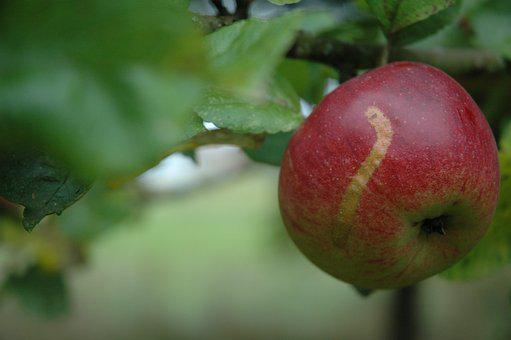 Apple, Cultural Property, Old Variety, Healthy