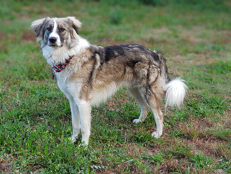 Dog, Herd Protection Dog, Border Collie Mongrel, Meadow