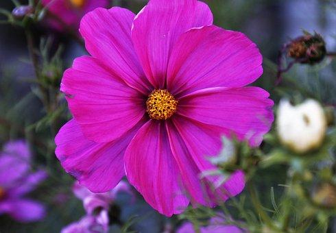 Kosmea, Space, Pink, Flowers, Plant, Branch, Tender