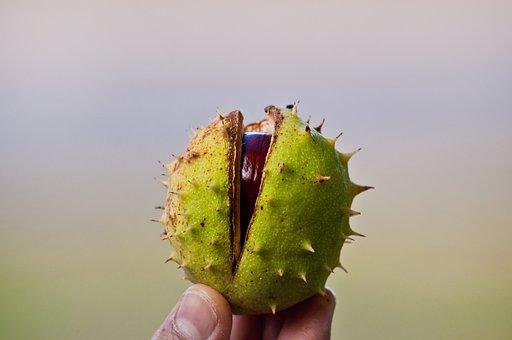 Chestnut, Close Up, Chestnut Fruit, Plant, Nature