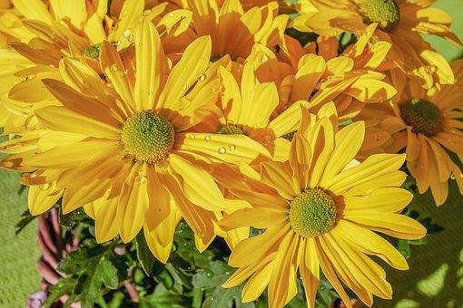 Garden - Chrysanthemum, Chrysanthemum Grandiflorum
