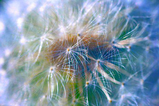 Dandelion, Macro, Abstract, Nature, Close Up, Plant