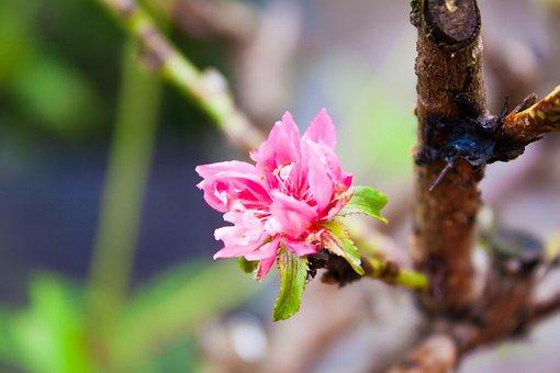 Hoa, Flower, Hoa D, Nature, Color, Floral, Vietnam, Red