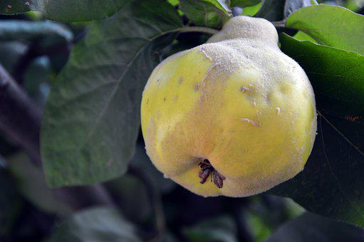 Quince, Cydonia, Fruit, Pome Fruit, Kernobstgewaechs