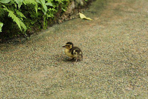 Ducklings, Papilliorama, Away