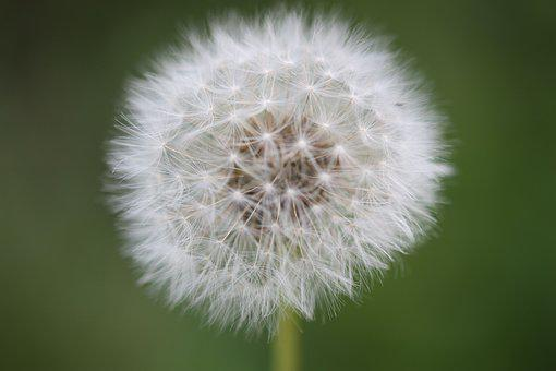 Dandelion, Flower, Nature, Close Up, Pointed Flower