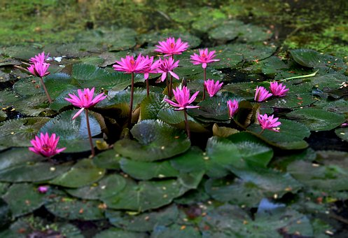 Nature, Flowers, Flora, Outdoor, Blossom, Water, Lily