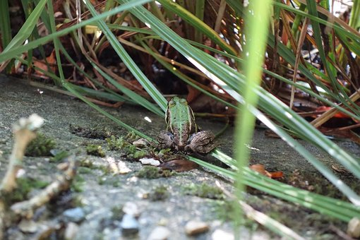 Frog, Toad, Tree Frog, Pond, Pools, Water, Reed, Grass
