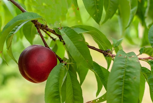 Fruit, Plum, Red, Plums, Tasty, Delicious, Vitamins