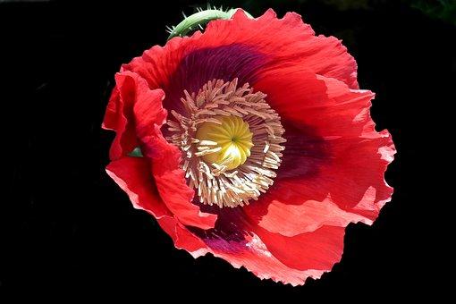Flower, Poppy, Garden, Red, Summer, Nature, Closeup