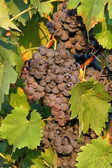 Grape, Dark, Vine, Wine, Grapevine, Vines Stock, Fruit