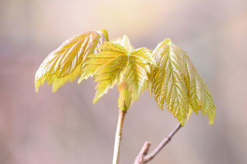 Maple, Spring, Nature, Tree, Leaf, Green, Plant, Growth