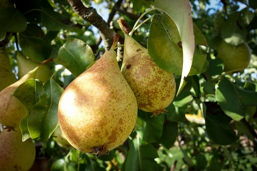 Pears, Pear, Fruit Tree, Fruit, Healthy, Vitamins