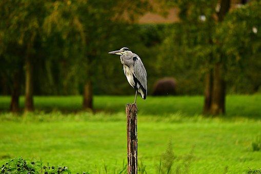 Heron, Wading Bird, Predator, Animal, Wildlife, Post