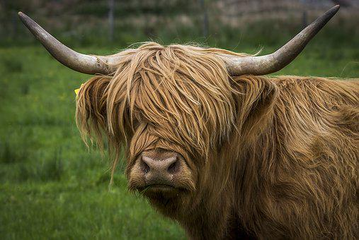 Highlandrind, Beef, Highlands And Islands