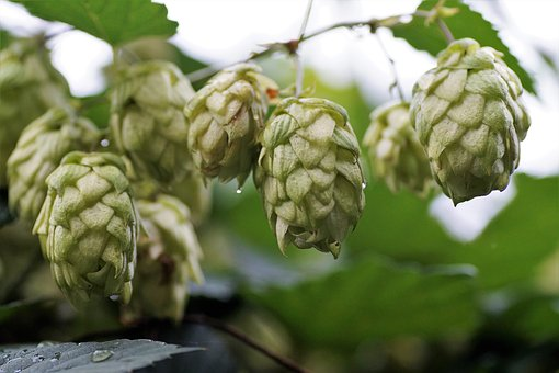 Hops, Wild, Hop, Cones, Flowers, Raw Material, Green
