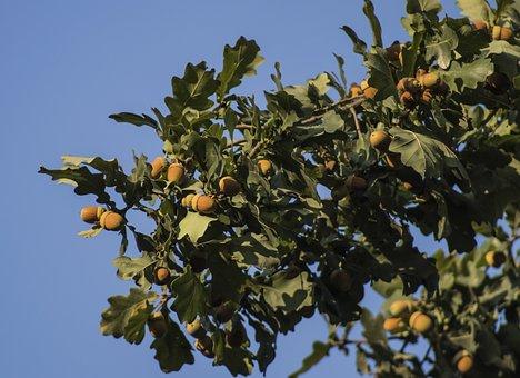 Oak Branch, Acorns, Leaves, Oak, Tree, In The Fall Of