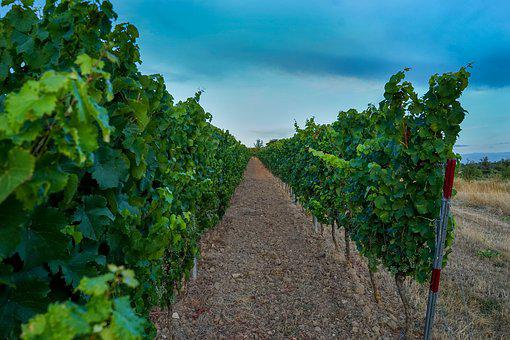 Vineyards, Leaves, Vineyard, Winegrowing, Wine, Plant