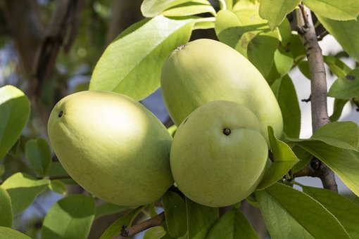 Chinese Quince, Fruit, Nature, Wood, Fruit Trees