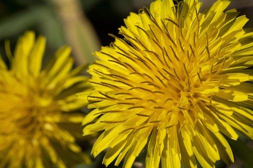 Dandelion, Flowers, Nature, Plants, Wildflower, Field