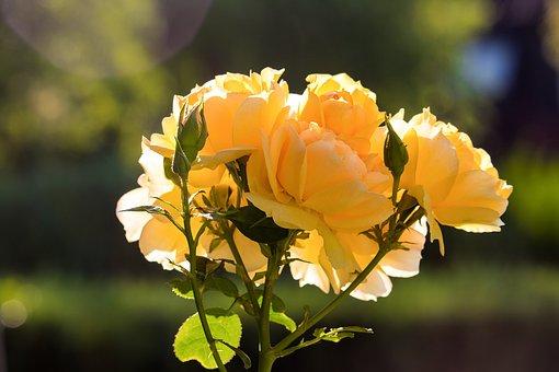 Rose, Plant, Flowers, Ornamental Plant, Flower, Nature